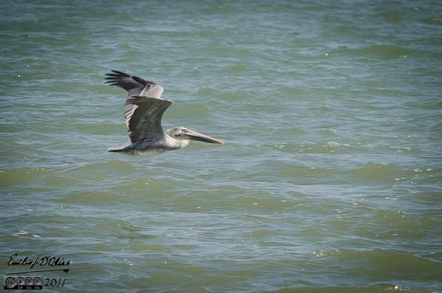 Pelican Flying