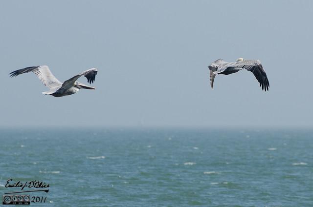 Pair of pelicans flying