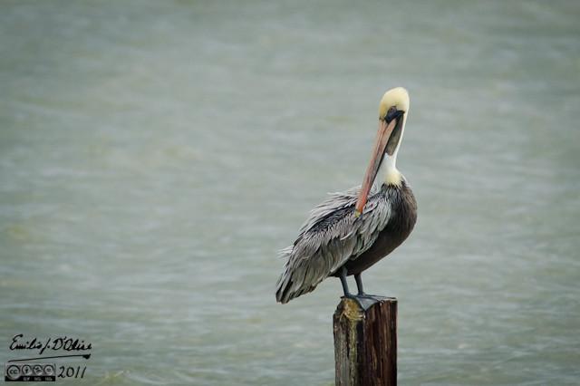 Pelican perched on pylon