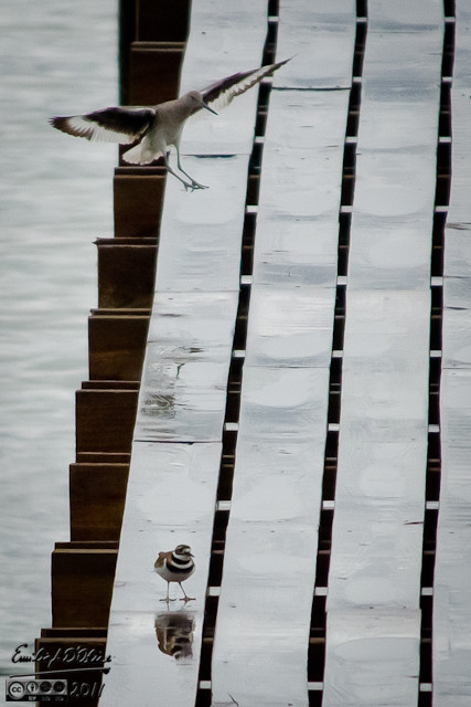 Willet landing on dock