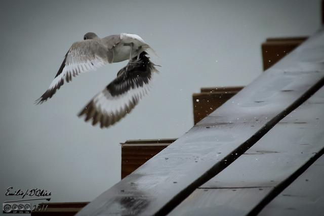 Willet flying off