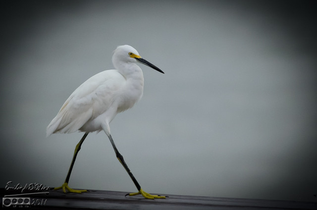 egret marching
