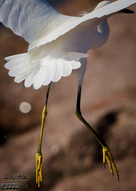 crop of flying egret