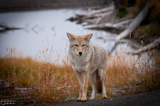 The healthiest and best-looking coyote I have ever seen