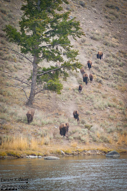 Buffalo coming down the hill to sip on the Madison River