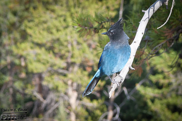 Stellar's Jay . . . my first