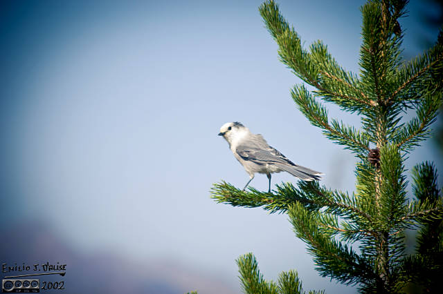 This is a Western Jay, a.k.a. Gray Jay, a.k.a. Camp Robber Bird