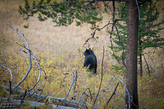 Only a few shots of this bear, as he was already leaving the area