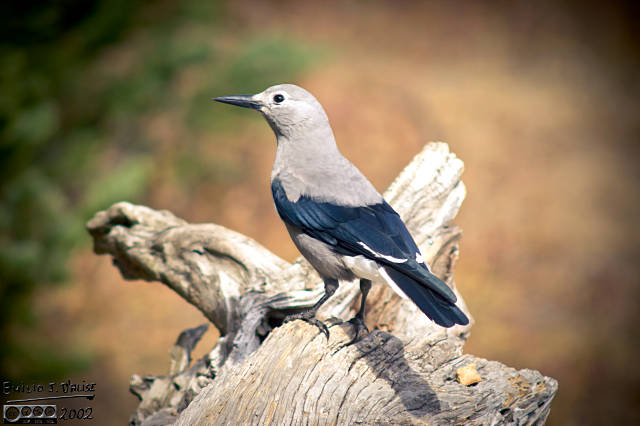 I thought this was a Jay of some kind, but it's a Clark's Nutcracker
