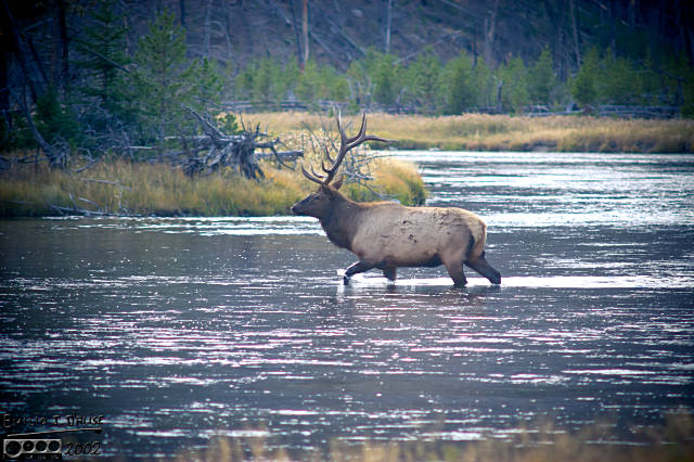 These Elks showed no interest in leaving the water
