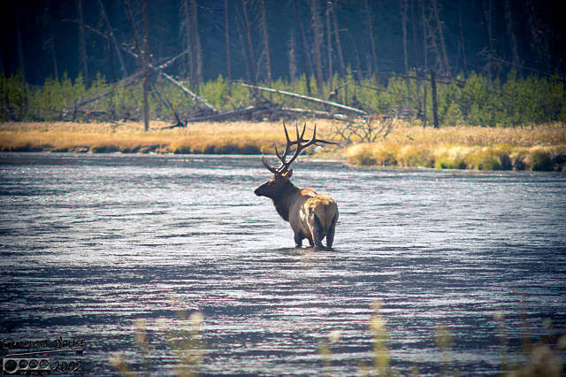 The mythical Water Elk