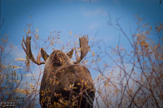 Moose rump