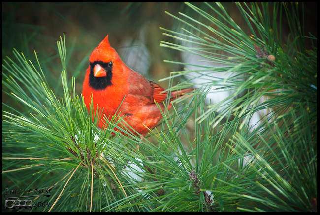 Norther Cardinal on one of our evergreens