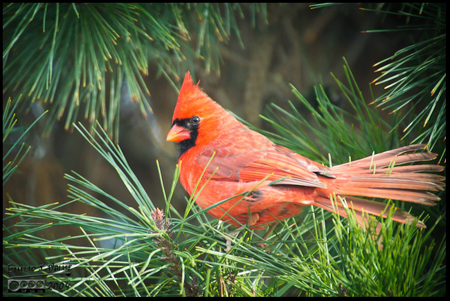 Norther Cardinal flashing some tail