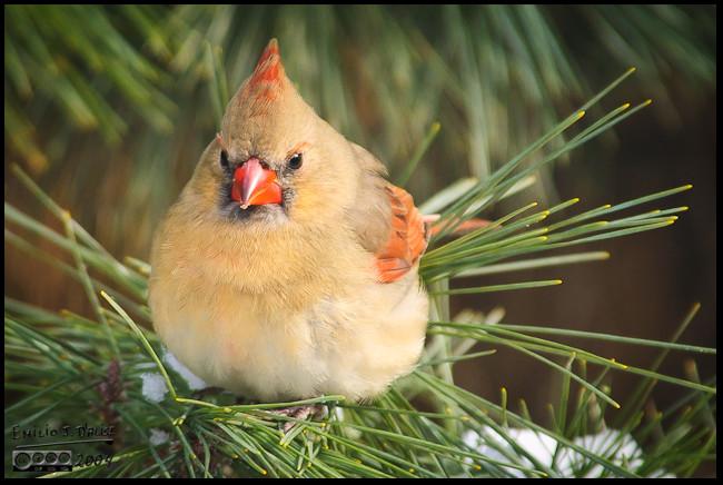 Female Northern Cardinal - I call her Lady Cardinal