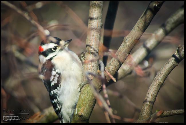 Cute Downy Woodpecker