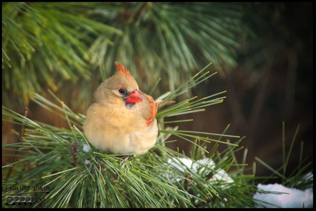 Sweet Lady Cardinal