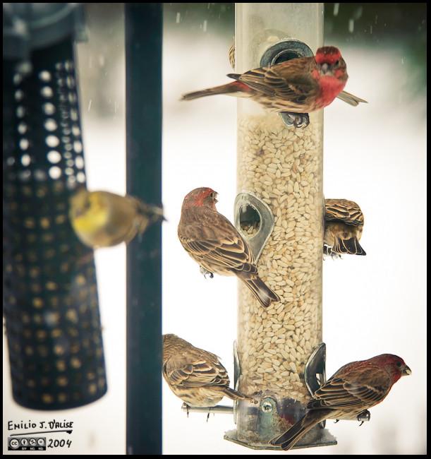 Finch raiding party
