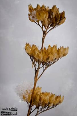Another closeup of the Bluebeard Shrub flower . . . or what remains.