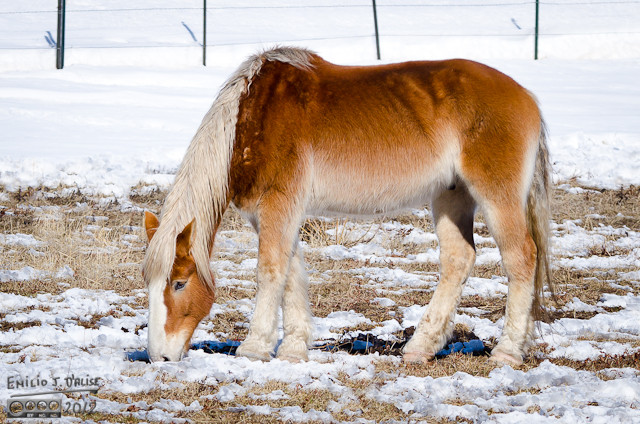 I like the coloring of this horse, the mane, and the furry shins . . . almost like bell-bottoms.
