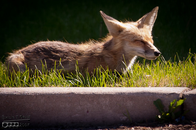 In contrast to the kits, this poor fox looked frazzled . . .