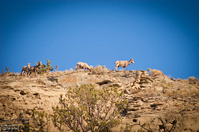 The last thing we saw that first day were these sheep. They are not Mountain Goats (they are white), so by process of elimination, they are Bighorn Sheep.
