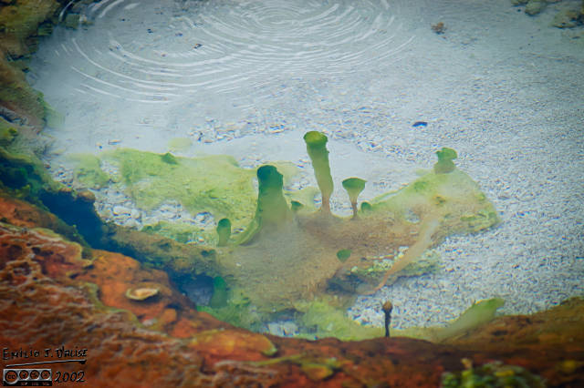 I named this the Hitchcock pond because one of the algae looks as if sporting the famous profile