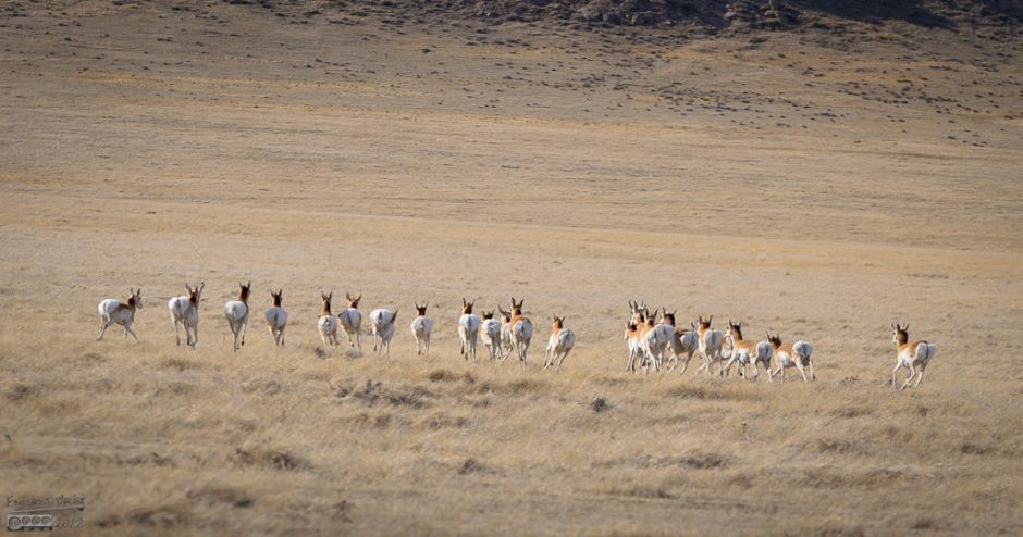 The Antelopes were just as quick in jumping up and taking flight.