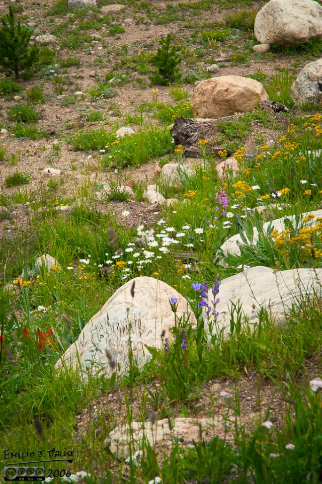 A pleasant Colorado surprise are the wildflowers that seem to aggressively cover any open area.  They have a short growing season, and they make the most of it.