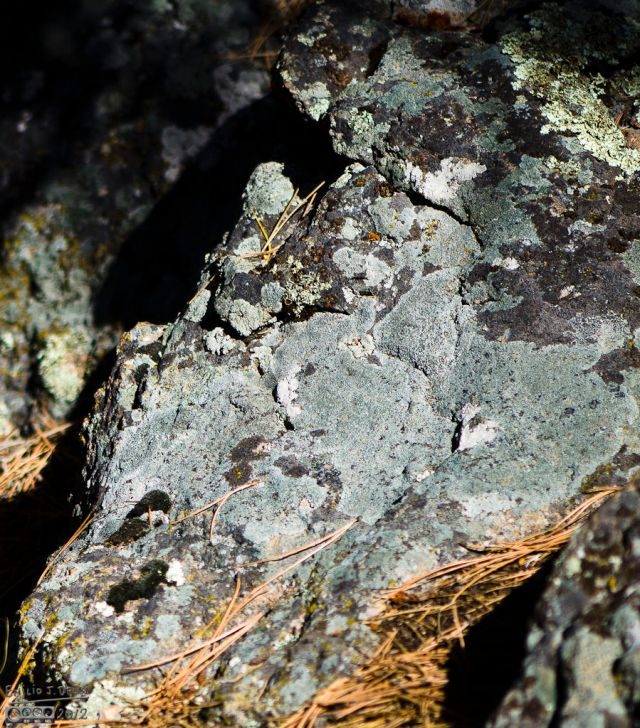 Various lichen, predominantly Lichenous Donnoit