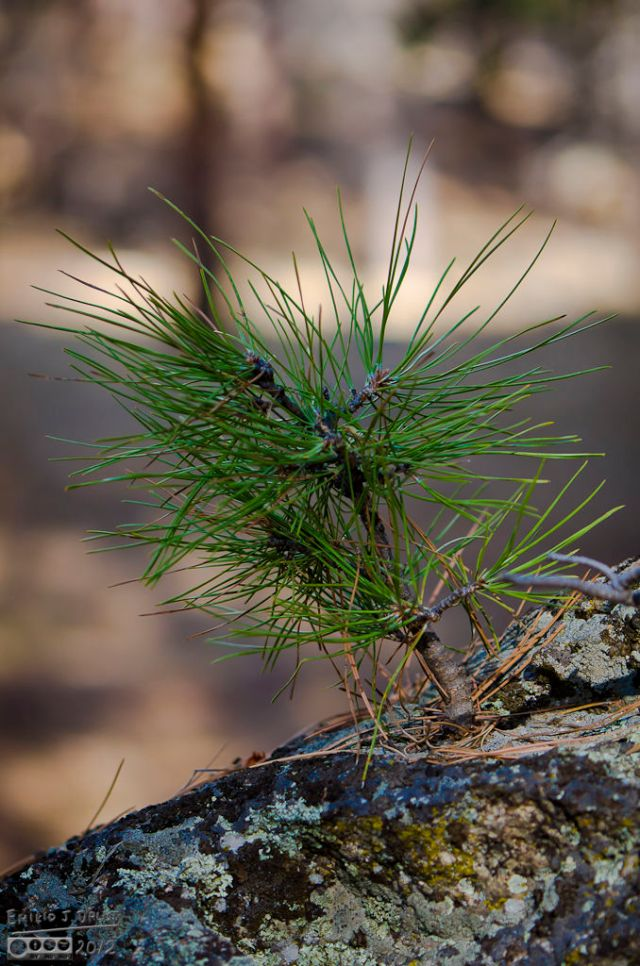 Very rare miniature Sequoia growing right out of a rock. These specimens typically grow to 4-5 inches in height, and are then eaten by near-sighted deer.