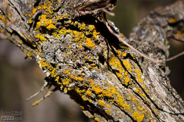 The Yellow Gliding Caterpillar (typically 3-4 inches in length and 1 inch in diameter) sometimes misjudges its landing, and gets smeared on tree trunk.  A rare find indeed, as ants usually clean this up within hours.