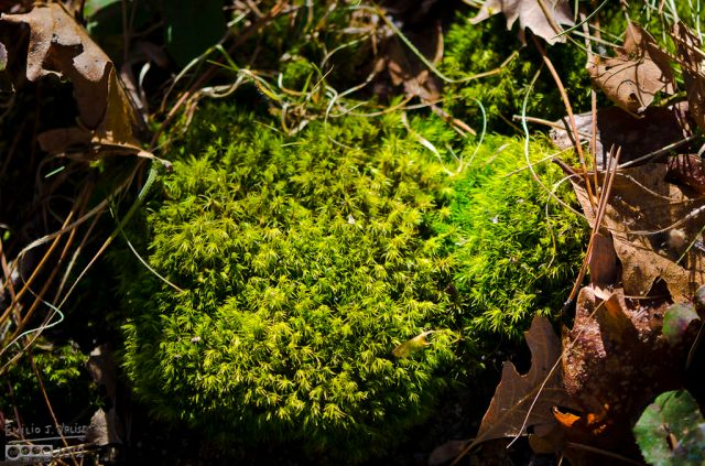 This moss, Coveratus Fecesous, is responsible for beautifying much of the forest floor. It grows on animal feces, and thus covers the unsightly mess as well as acts as a shit-mine of sorts for unsuspecting hikers.