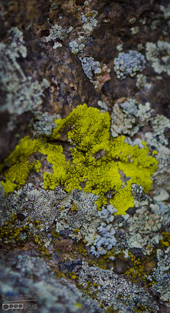 This particular strain of lichen, Roadus Lineous, is often to make the yellow paint used in road stripes, especially the double no-passing markings, as those need high visibility.