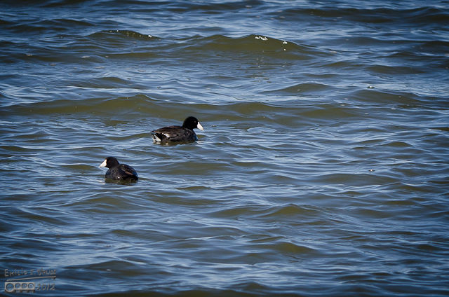 We felt like these guys – American Coots