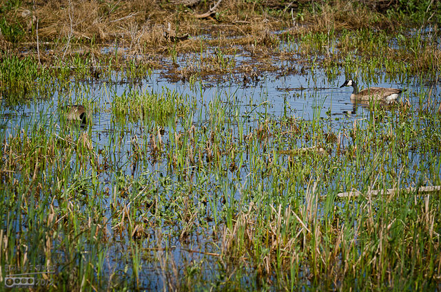 There are many marshy areas around the lake.  It's the perfect habitat for Canadian geese as well as other waterfowls.