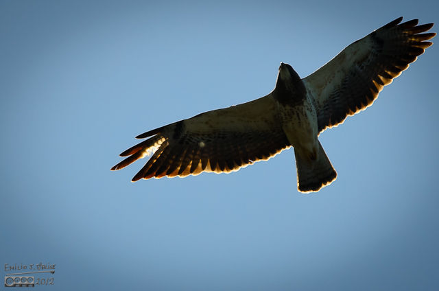 this is a Swainson's Hawk flying overhead