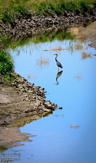 as we rounded a corner of the trail, we saw this great blue Heron in the Denver & Hudson canal that follows the lake for a portion before branching off.