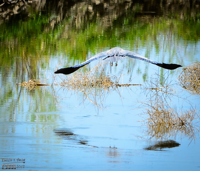 However, I am reasonably pleased with the setting and with the reflection of the bird in flight on the water.