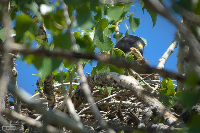 after a while, I move the camera to snap a picture of the Swainson's Hawk in its nest