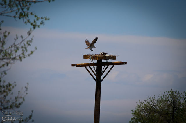 Unfortunately, with all the moving around, I ended up with a fuzzy picture of the Osprey coming back to the nest with a fish on its talons.