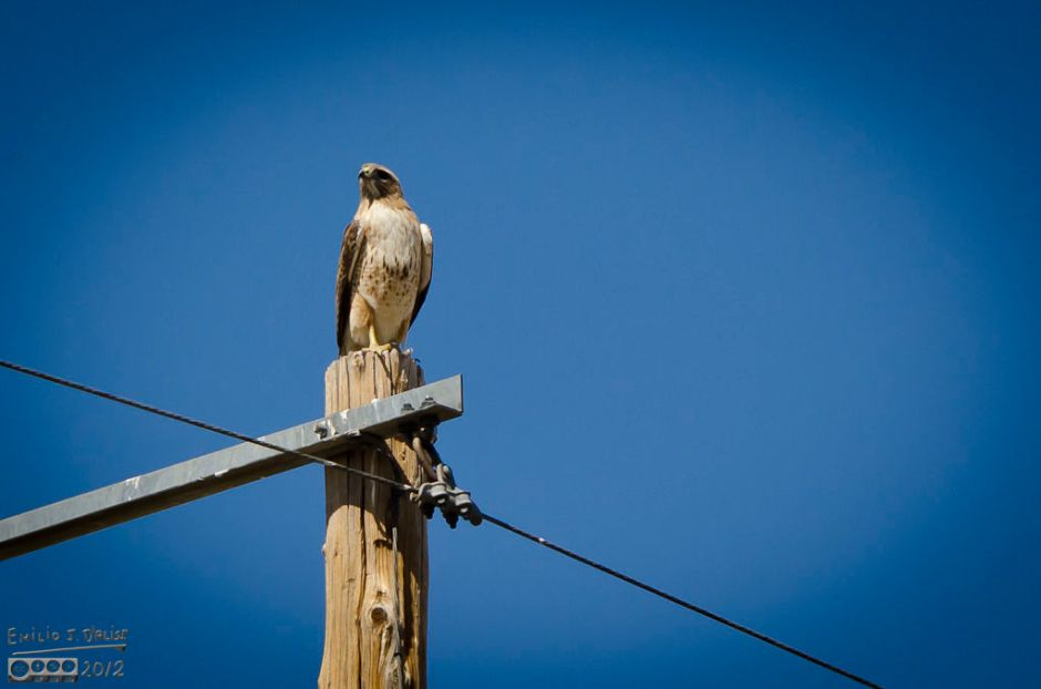Red-Tailed Hawk on a pole . . . could also be a slovak.  Hard to tell them apart.