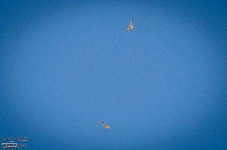 Obviously he had spotted the other hawk, and that is why it circled above as opposed to flying off.