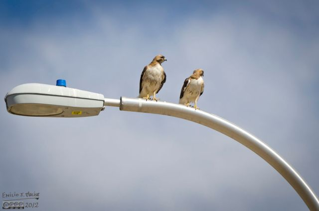 . . . something I had never seen before.  Two hawks perched side-by-side