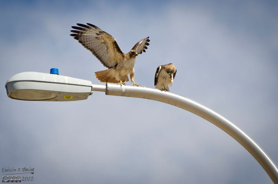 """So, sure, I got a few good shots, like this photo of the one hawk """"jumping"""" when the other moved to scratch its head."""