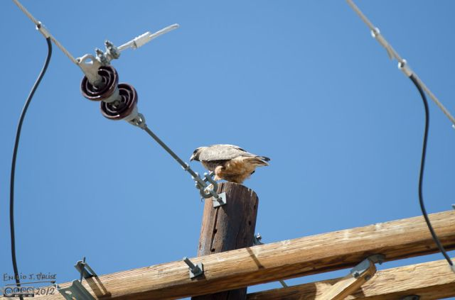 Twenty minutes after photographing the couple on Powers, I stopped for this hawk on County Line Road.