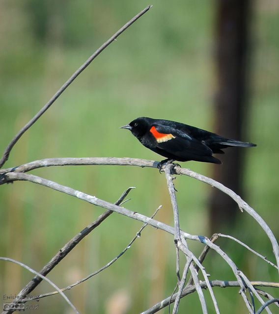 This Red-Winged Blackbird was struggling to hold his perch atop dead branches sticking out of the middle of the pond.
