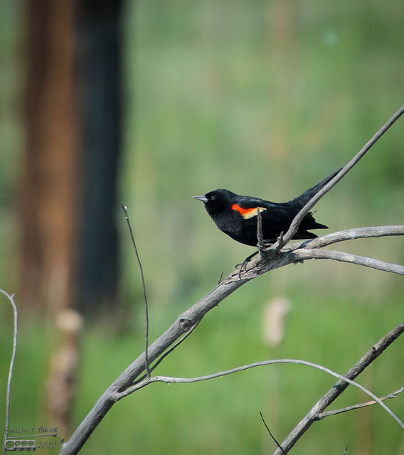 The Red-Winged Blackbird continued to call for a while, and then sought shelter from the wind among the weeds near the shore.