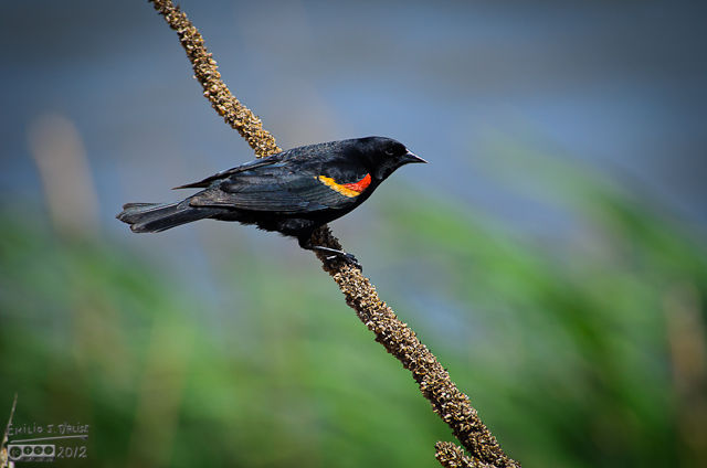 Because of the coloring, these birds are not easy to photograph (at least for me), and yet these are the best Redwinged Blackbirds photos I ever shot.