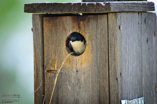This Tree Swallow is nesting in a very small box.  Tree Swallows broods typically consist of five or six chicks.  Not that much room in that box.  Hope they do OK.